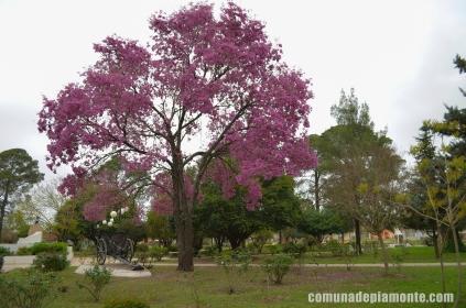 "Lapacho en Plaza ""San Martín"""